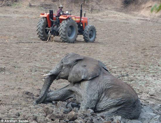 Δραματική διάσωση μωρού ελέφαντα και της μητέρας του (14)