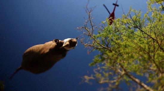 Ιπτάμενοι ρινόκεροι (6)