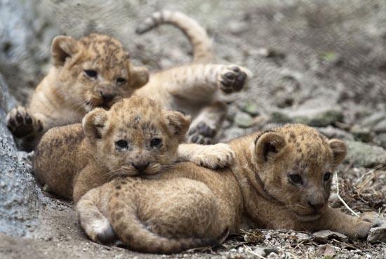 Λιονταράκια κάνουν ντεμπούτο σε ζωολογικό κήπο (1)