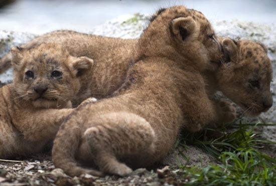 Λιονταράκια κάνουν ντεμπούτο σε ζωολογικό κήπο (2)