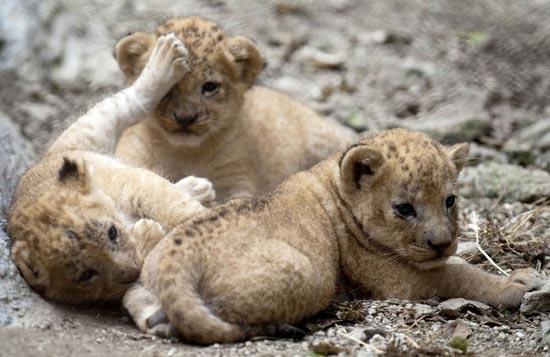 Λιονταράκια κάνουν ντεμπούτο σε ζωολογικό κήπο (3)