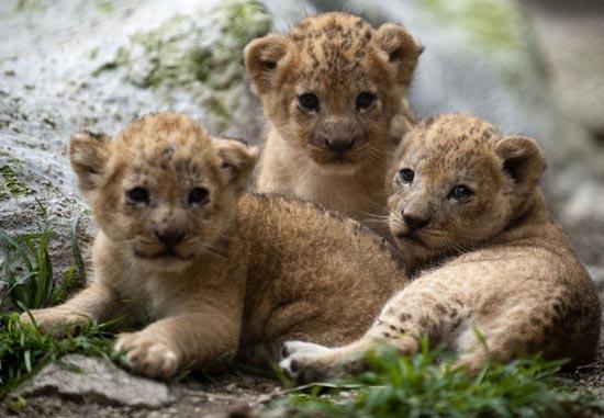 Λιονταράκια κάνουν ντεμπούτο σε ζωολογικό κήπο (4)