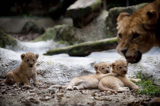 Λιονταράκια κάνουν ντεμπούτο σε ζωολογικό κήπο (5)