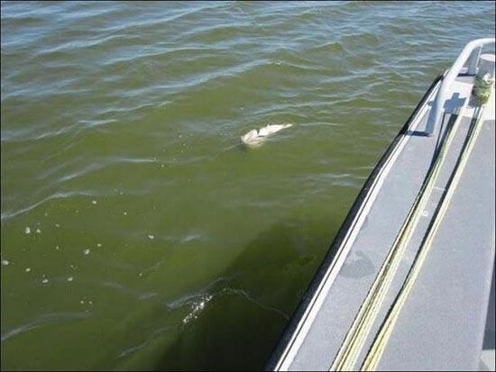 Ψάρι πέθανε προσπαθώντας να καταπιεί άλλο ψάρι (1)