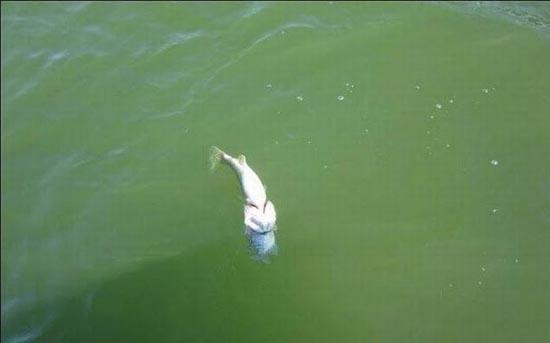 Ψάρι πέθανε προσπαθώντας να καταπιεί άλλο ψάρι (2)
