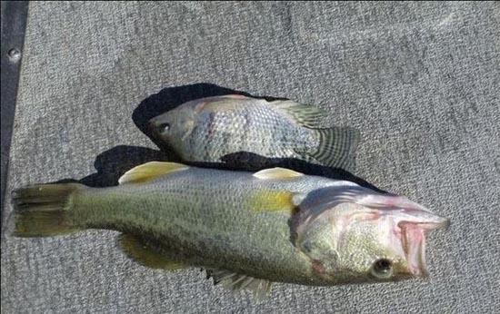 Ψάρι πέθανε προσπαθώντας να καταπιεί άλλο ψάρι (4)
