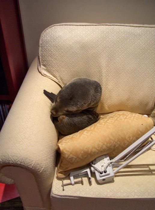 Φωκάκι εισέβαλε σε σπίτι για να κοιμηθεί στον καναπέ (3)
