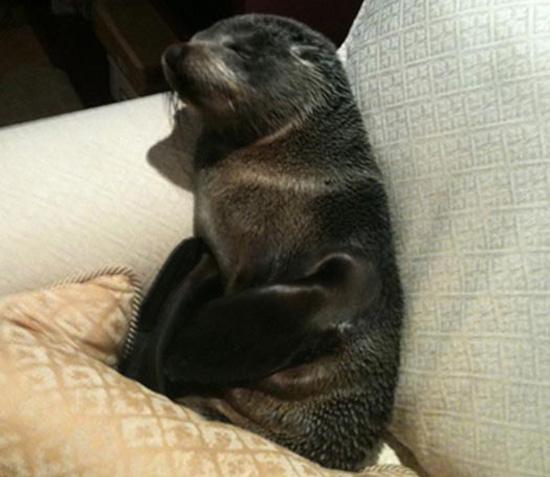 Φωκάκι εισέβαλε σε σπίτι για να κοιμηθεί στον καναπέ (4)