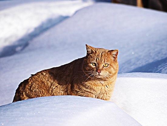 Γάτες στο χιόνι (14)