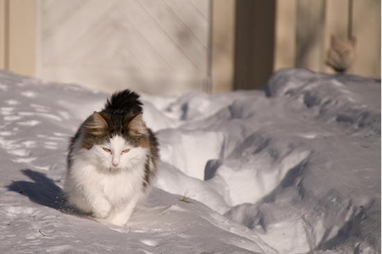 Γάτες στο χιόνι (11)