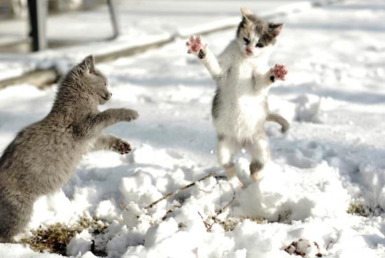 Γάτες στο χιόνι (5)