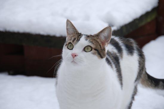 Γάτες στο χιόνι (3)