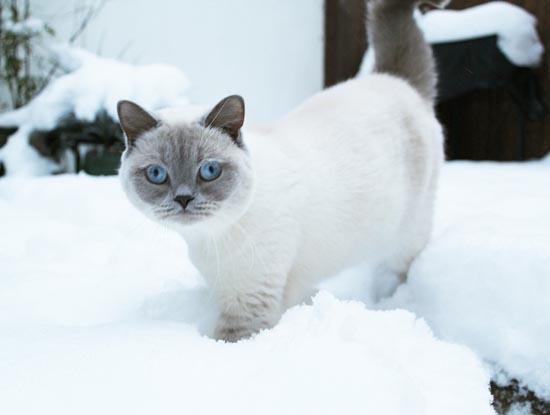 Γάτες στο χιόνι (2)
