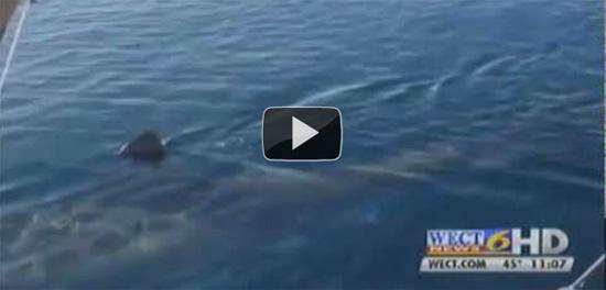 Καρχαρίας 6 μέτρων βρέθηκε δίπλα σε σκάφος ιδίου μεγέθους (Video)