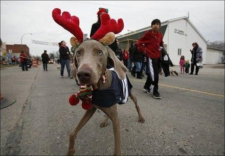 Σκύλοι που μισούν τα Χριστούγεννα (14)