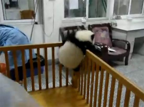 Η απόδραση του μωρού Panda