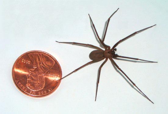 Αράχνη Brown Recluse