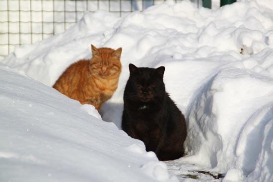 Γάτες στο χιόνι (6)