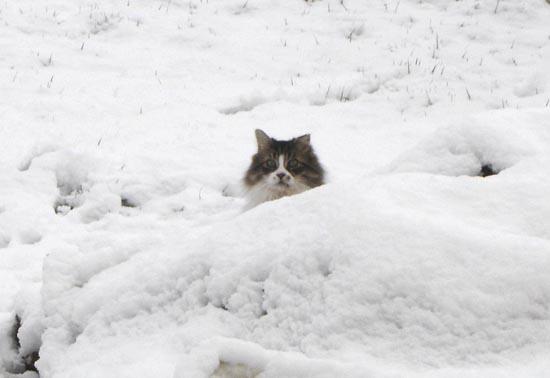Γάτες στο χιόνι (16)