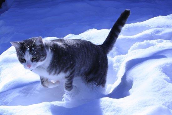 Γάτες στο χιόνι (17)