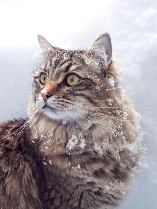 Γάτες στο χιόνι (19)