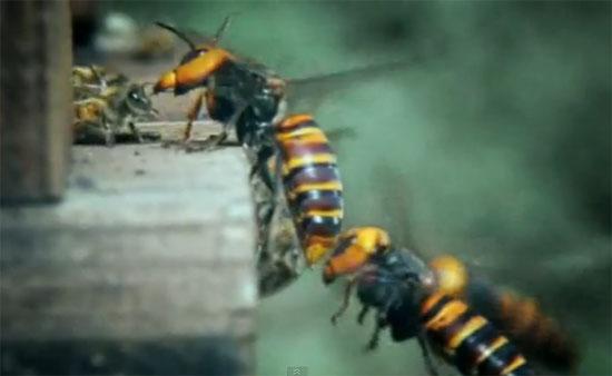 30 Ιαπωνικές Σφήκες επιτίθενται σε 30.000 μέλισσες