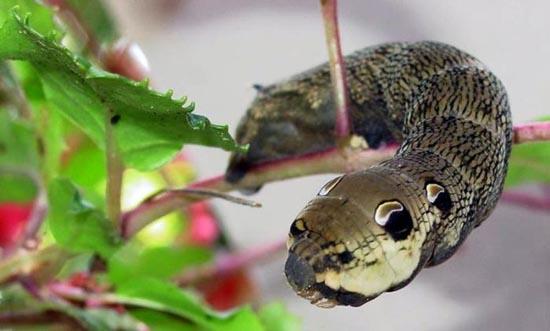Κάμπια που μοιάζει με φίδι (1)