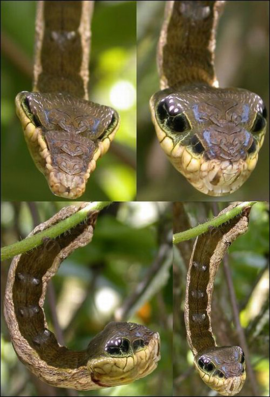 Κάμπια που μοιάζει με φίδι (2)