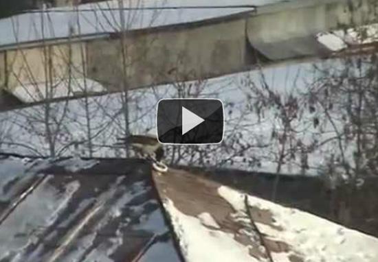 Κοράκι κάνει snowboard σε σκεπή κτηρίου
