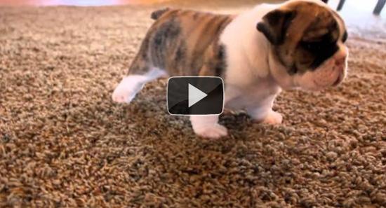 Κουτάβια Bulldog μαθαίνουν να περπατούν