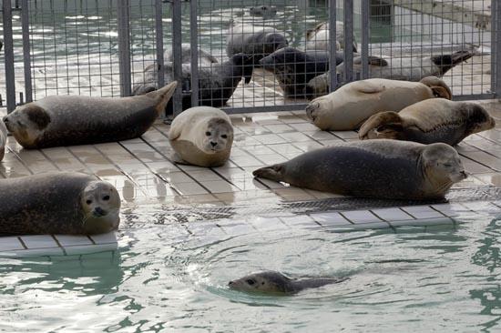 Ορφανοτροφείο για φώκιες στην Ολλανδία (1)