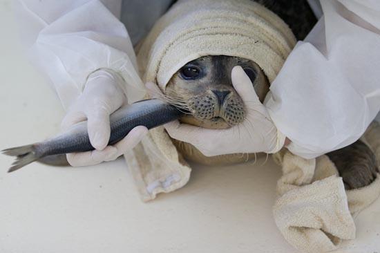 Ορφανοτροφείο για φώκιες στην Ολλανδία (2)