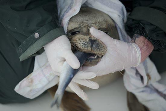 Ορφανοτροφείο για φώκιες στην Ολλανδία (3)