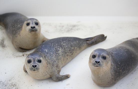 Ορφανοτροφείο για φώκιες στην Ολλανδία (6)