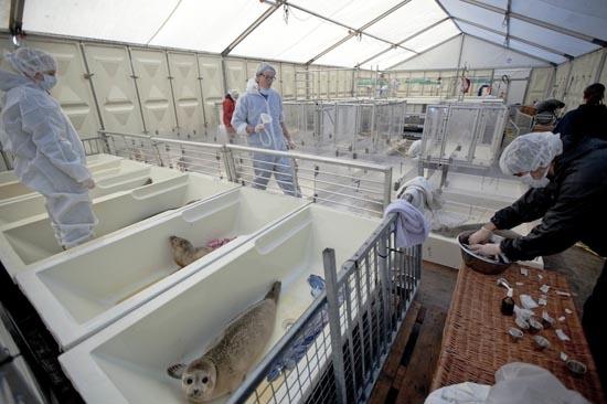 Ορφανοτροφείο για φώκιες στην Ολλανδία (8)