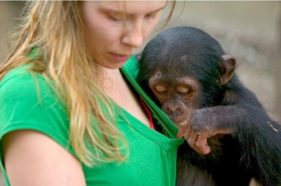 Φωτογραφία της ημέρας: Πονηρός Χιμπατζής