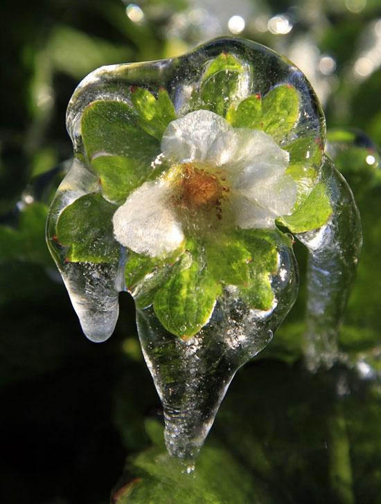 Φωτογραφία της ημέρας: Παγωμένο λουλούδι