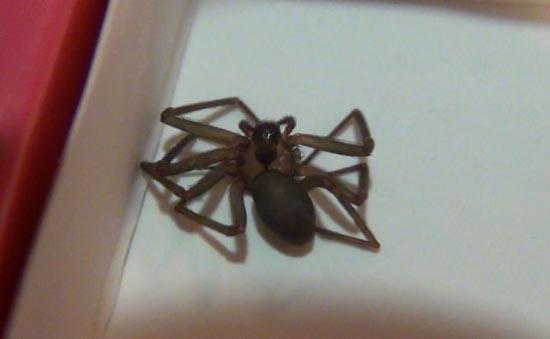 Δείτε τι προκαλεί ένα τσίμπημα από αράχνη Brown Recluse (1)