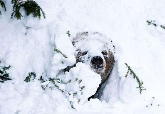 Αρκούδα ξυπνάει από τη χειμερία νάρκη (1)