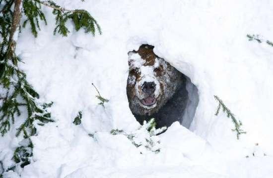 Αρκούδα ξυπνάει από τη χειμερία νάρκη (2)