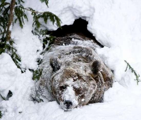 Αρκούδα ξυπνάει από τη χειμερία νάρκη (3)
