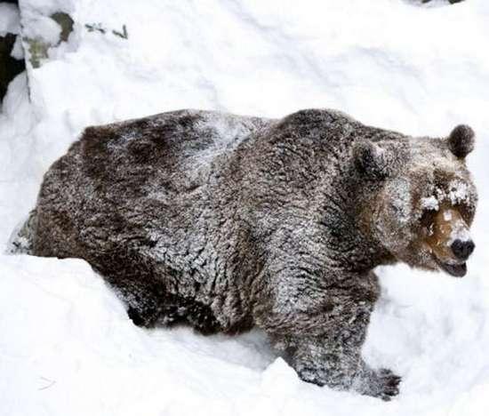 Αρκούδα ξυπνάει από τη χειμερία νάρκη (4)