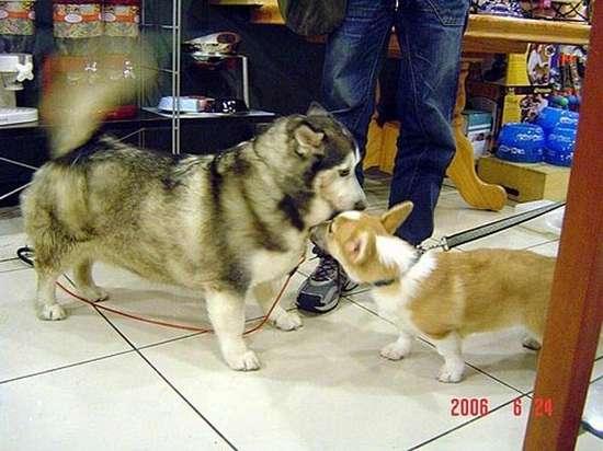 Διασταύρωση Corgi με Husky (4)