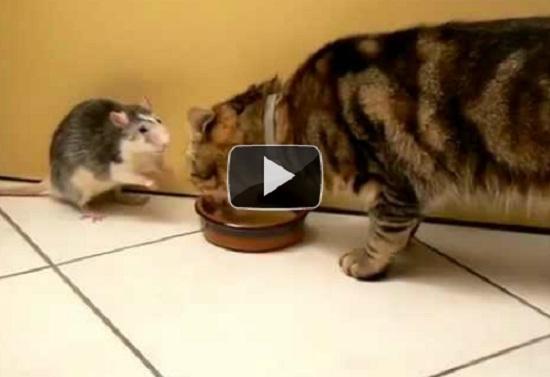 Γάτα και αρουραίος πίνουν γάλα από το ίδιο μπολ