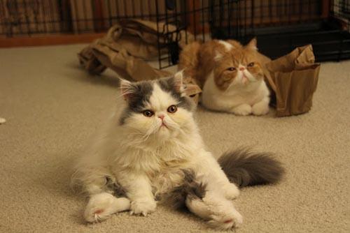 Γάτες που κάθονται σαν άνθρωποι (15)