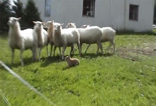 Κουνέλι σε ρόλο τσοπανόσκυλου