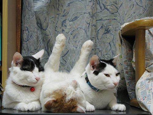 Οι πιο παράξενες στάσεις ύπνου για γάτες (7)
