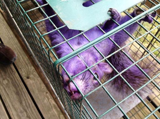Φωτογραφία της ημέρας: Βρέθηκε μωβ σκίουρος! (1)