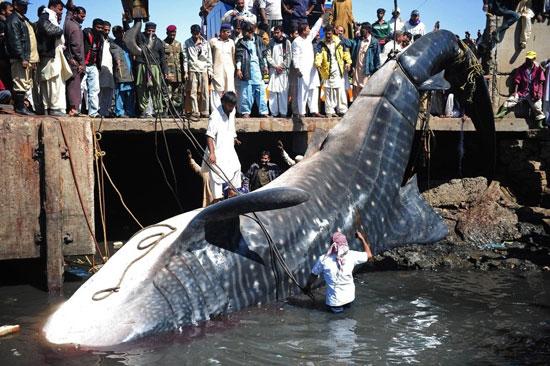 Ψάρεψαν καρχαρία 13 μέτρων (1)
