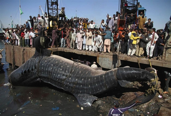 Ψάρεψαν καρχαρία 13 μέτρων (2)